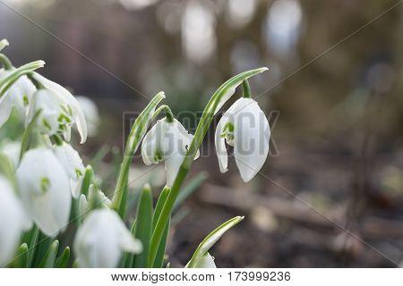 Snowdrops In Winter