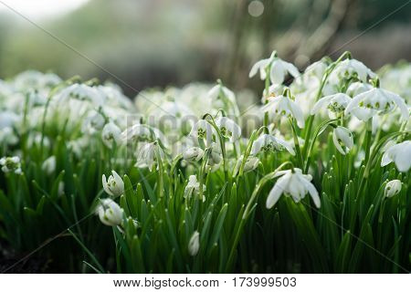 Flowerbed Covered With Snodrops