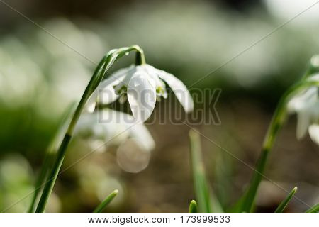 Close Up Of A Snowdrop