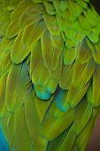 Green military macaw (Ara militaris). Plumage texture. poster