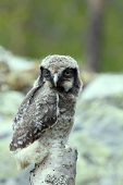 Cute fluffy owlet one animal bird on a branch poster