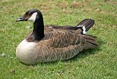 The Greater Canada Goose or Branta Canadensis poster