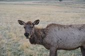 Scruffy looking elk shedding winter fur coat on an early spring evening in yellowstone poster