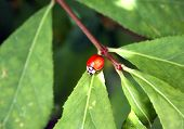 A ladybug brightly contrasts the leaves in a garden poster