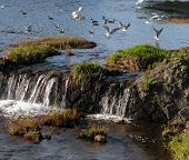 some birds flying over a little waterfall on kamogawa river,the main river in kyoto city. poster