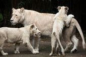 Female white lion with two newborn cubs. The white lions are colour mutation of the Transvaal lion (Panthera leo krugeri), also known as the Southeast African or Kalahari lion. poster