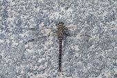 Migrant Hawker dragonfly Aeshna mixta resting on stony path poster