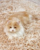 big red fluffy Persian cat on the shaggy carpet poster
