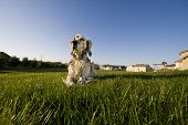 An English Setter laying on the grass in the backyard poster