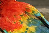 macaw feathers detail many colors feathers ave poster