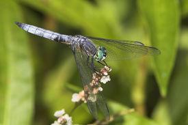 Libelle auf einer Blume-6_051101