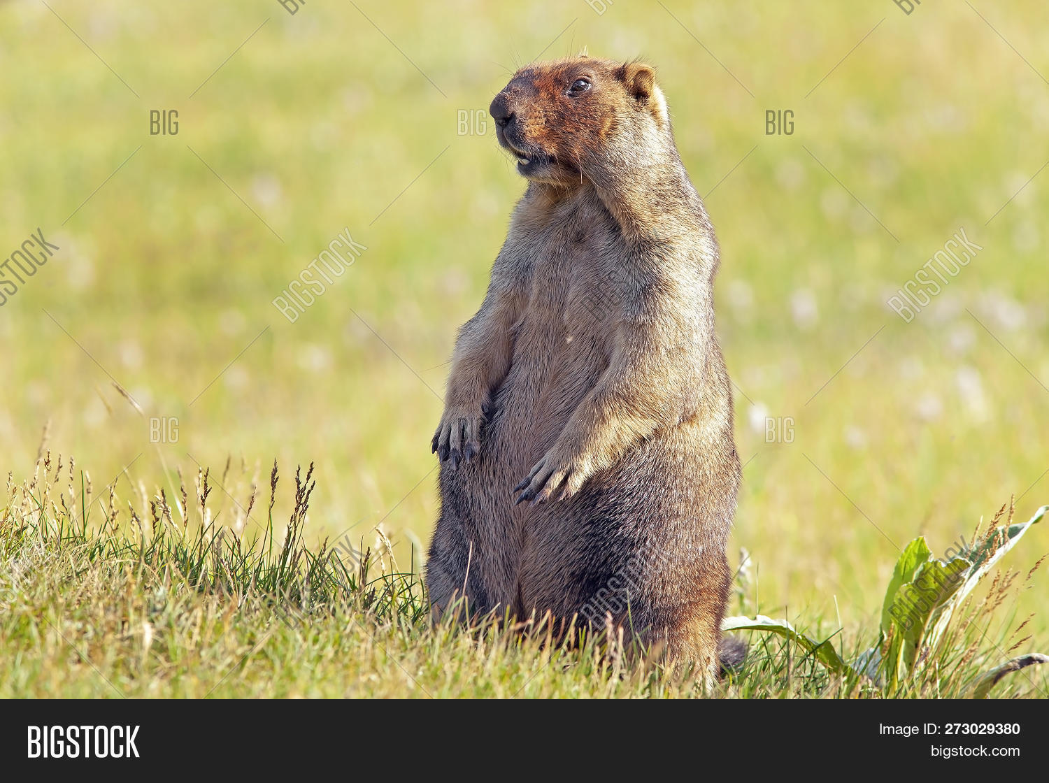 Funny Groundhog Fluffy Image & Photo (Free Trial)
