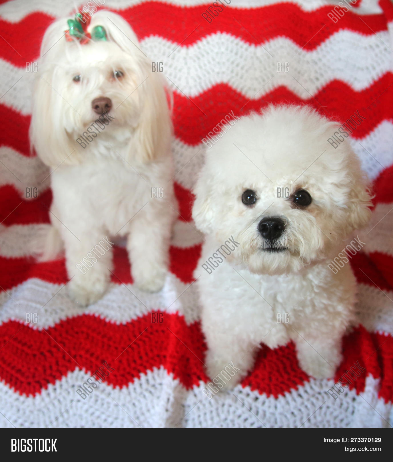Christmas Dogs Two Image Photo Free Trial Bigstock