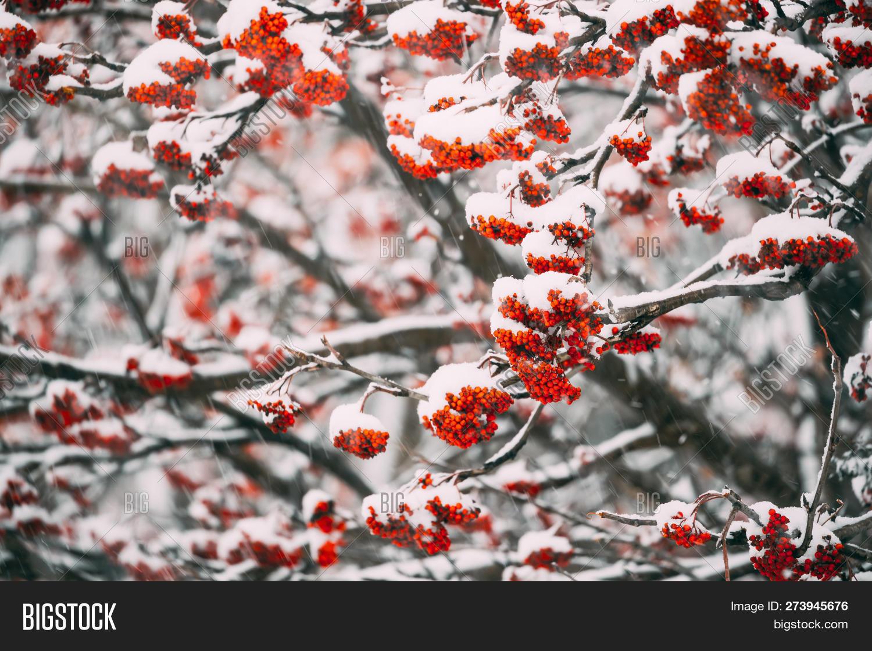 Rowans Red Berries Image Photo Free Trial Bigstock