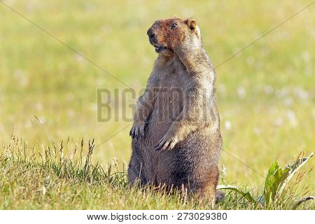 Funny Groundhog With Fluffy Fur Sits In A Meadow On A Sunny Warm Day, Groundhog Day