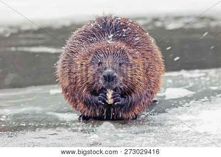 Funny Brown American Beaver (castor Genus) Sits On The Shore Of A Frozen Lake In Winter, Closeup
