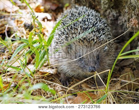Face To Face Meet With A Hedgehog In The Forest. European Hedgehog (erinaceus Europaeus), Also Known