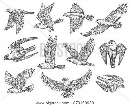 Eagle, Hawk And Falcon Sketches With Flying Birds Of Prey. Vector Predatory Animals Hunting Or Attac
