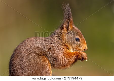 Red Squirrel (sciurus Vulgaris) Close Up Sideview Portrait On Green Background