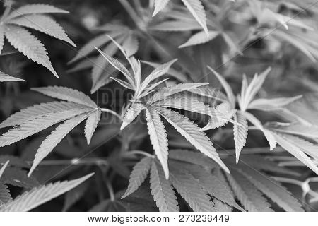 Details Of Cannabis Or Marijuana Plant Leaves In An Outdoor Growing Operation.