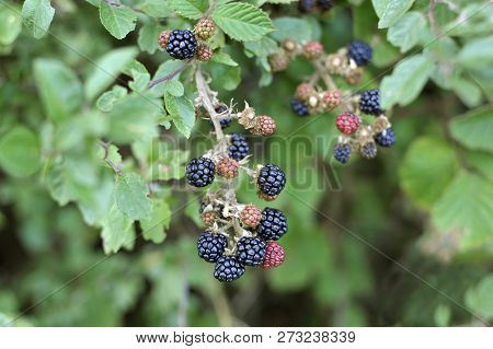 Wild Blackberries Growing In A Countryside Hedgerow, Also Called Wild Brambles, The Fruits Are Forag