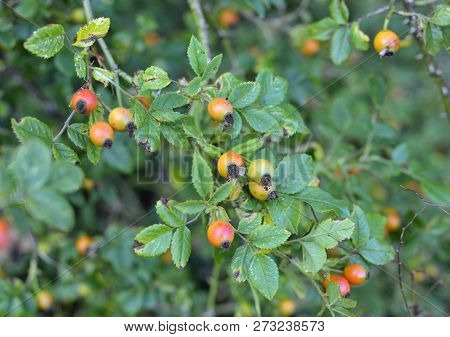 Wild Rose Hips, Fruit Of The Dog Rose, Rosa Canina In A Countryside Hedgerow.