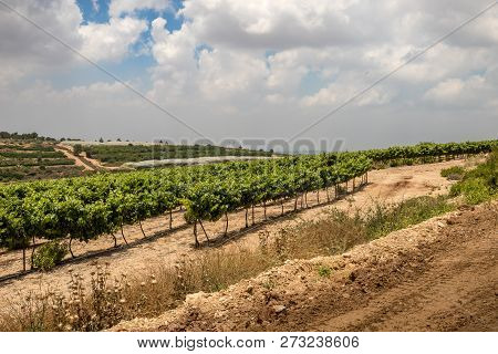 Vineyards Along Way Of The Patriarchs Or Way Of The Fathers. The Name Is Used In Biblical Narratives