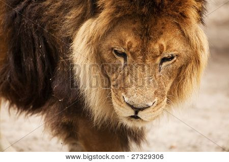 Close-up of an African lion, Novosibirsk Zoo