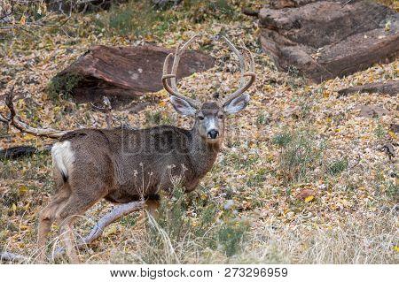A Nice Mule Deer Buck In Velvet In Utah
