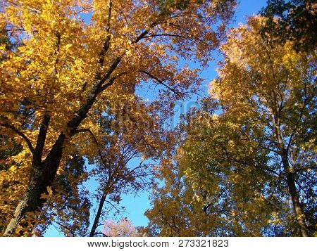 Bright Yellow Autumn Foliage Against An Azure Blue Sky On An Early Fall Day.