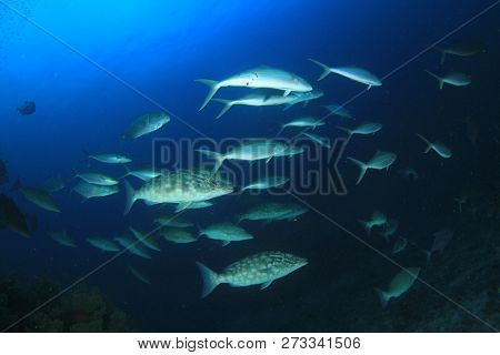 Longnose Emperorfish fish hunt on coral reef