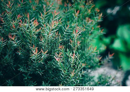African Pine Or Dwarf Eucalyptus For Natrue Background.