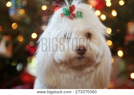 Christmas Dog Portrait. A beautiful Maltese Mix dog poses for her Christmas Photos. Christmas Tree out of focus in background. Dog Holiday Fashion Shoot.