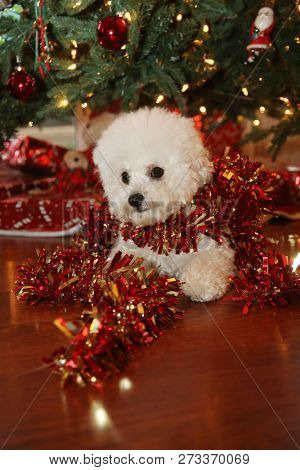 Christmas Dog. A purebred Bichon Frise puppy smiles as she poses for her Christmas Photo under a Christmas Tree with Wrapped Gifts. Christmas Puppy. Small white dog. Animals and Wildlife. Holidays.