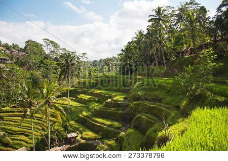 Tegallalang Rice Terraces. Ubud, Bali, Indonesia. Beautiful Green Rice Fields, Natural Background. T