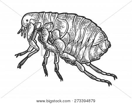 Flea Louse Insect Engraving Vector Illustration. Scratch Board Style Imitation. Black And White Hand