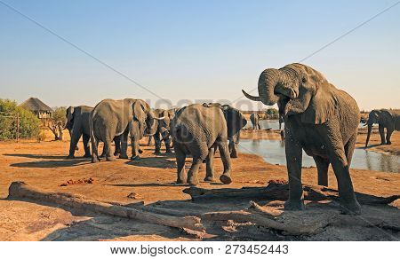 Herd Of Elephants Drinking From The Camp Waterhole, With A Thatched Lodge In The Distance And Clear