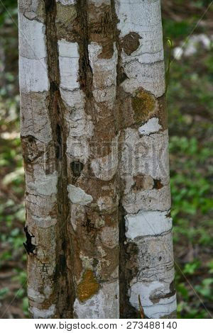Close Up Of A Tree Trunks Bark In The Jungles Of Cambodia