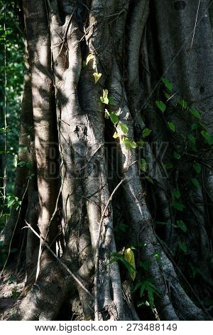 A Jungle Tree Trunk In Dappled Sunlight With Vines Growing Up It.