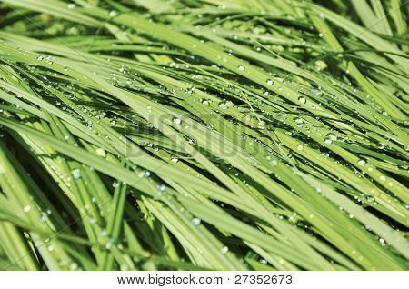 Sedge in the sun with drops of dew