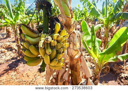 Banana tree with a bunch of ripe yellow bananas poster