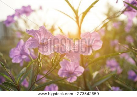 Close Up Ruellia Tuberosa Flower In Nature Garden