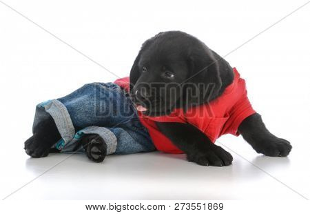 male black labrador retriever puppy wearing jeans and a red shirt on white background