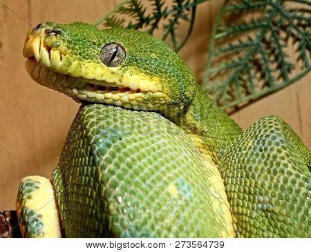 Australian Pythons, Green Python, Or Wood Python (latin Morelia Viridis) - A Kind Of Rhombic Pythons