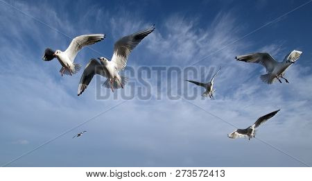 Blackheaded gulls in winter plumage in flock to feed on discarded fast food on seaside front. poster