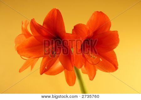 Big Red Cannan Flowers