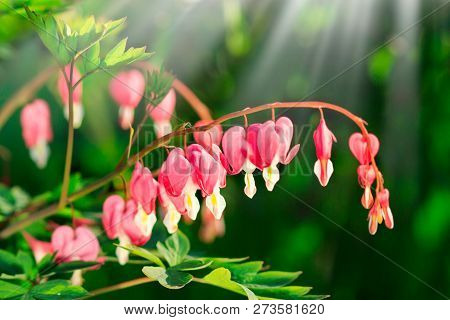 Dicentra - Bleeding Heart Flowers In Sunny Day. Spsce For Text. Love Valentine Day Concept. Spring N