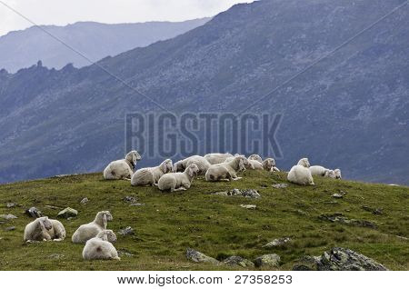Sheep On A Alpine Mountain Pasture