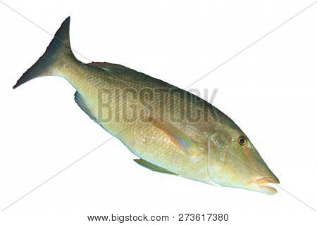 Longnose Emperor fish isolated on white background