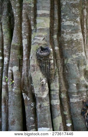 Grooved, Patchy Fig Tree Trunk In The Jungles Of Cambodia
